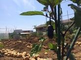 28年6月 野菜収穫①.JPG