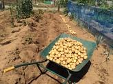 28年6月 野菜収穫②.JPG