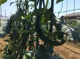 28年6月 野菜収穫③.JPG